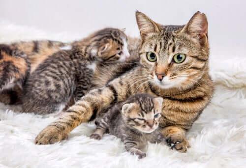 Quand et comment déplacer une portée de chatons ?