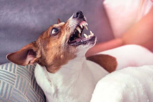 Un chien agressif nécessitant une rééducation