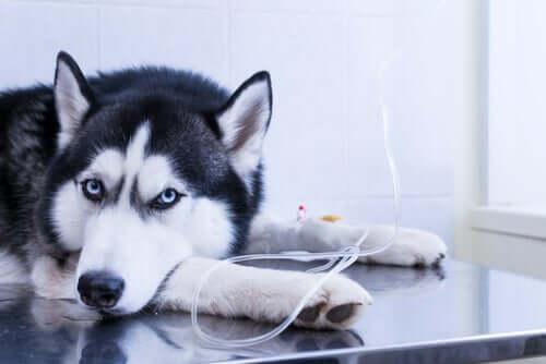 Un chien allongé qui reçoit un traitement par perfusion