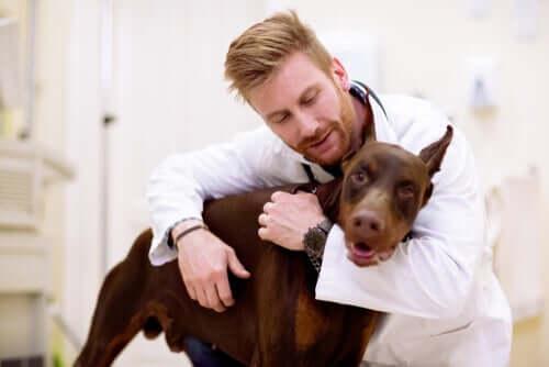 Un chien chez le vétérinaire pour cause de maux d'estomac