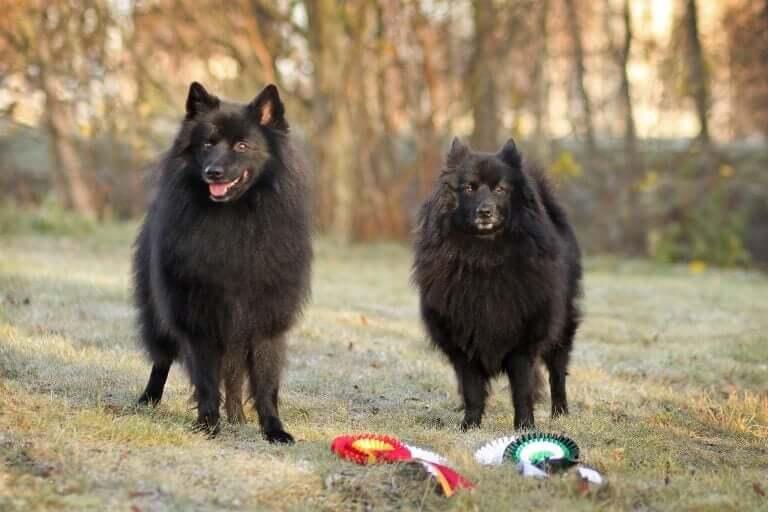 Découvrez les races de chiens spitz