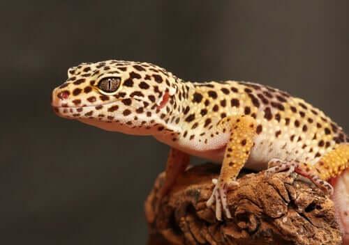 Gecko léopard : élevage et conception du terrarium
