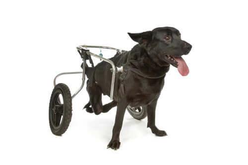 Un fauteuil roulant pour chien souffrant de dysplasie de la hanche