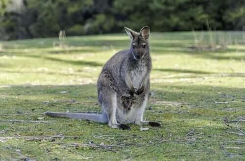 Un wallaroo, ou macropus robustus