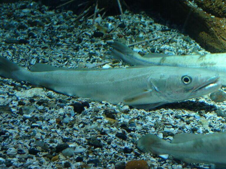 Le merlu : types de migrations et alimentation