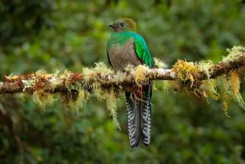Un quetzal femelle