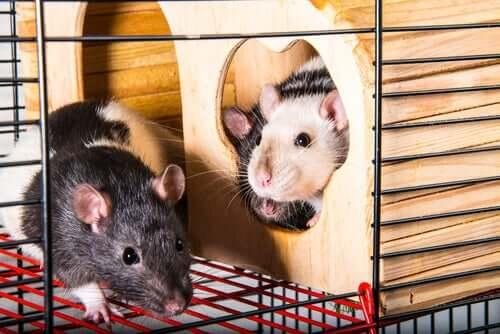 Le rat de compagnie en cage