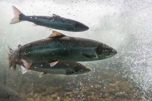 L'anémie infectieuse du saumon : ses causes
