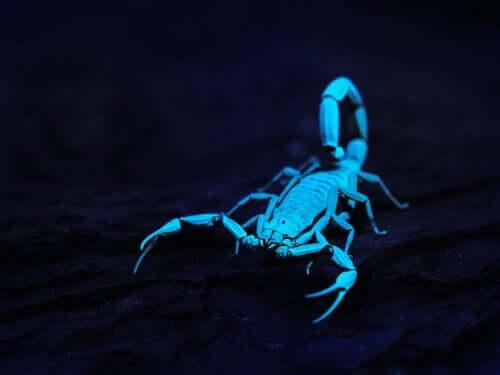 Les scorpions brillent dans le noir