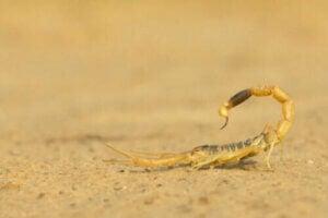 Les scorpions sont venimeux