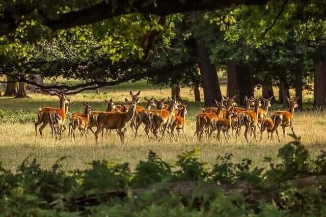 Les hardes de cerfs : alimentation et habitat