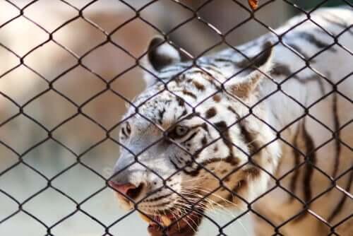 Un tigre en cage.