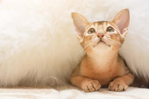 Abyssinian cats can behave like dogs