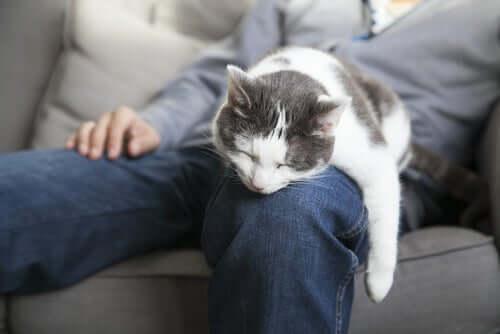 Un chat dort sur la jambe de son maître.