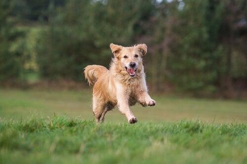 Peut-on laisser son chien courir librement en pleine campagne ?