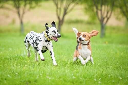 Deux chiens en train de courir sur la pelouse.