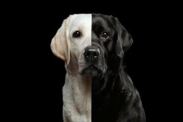 Les chiens clonés, un commerce légal ?