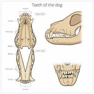 Dentition et squelette du crâne des chiens.