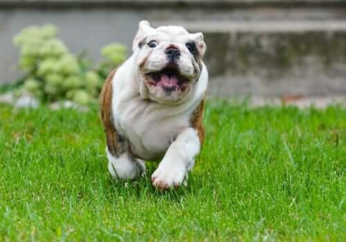 Un chien en train de courir sur la pelouse.