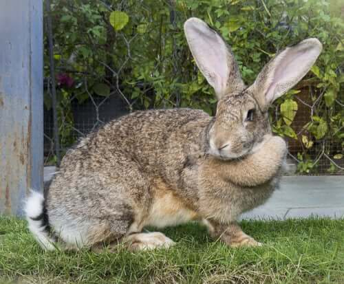 Among the domestic rabbits is the giant rabbit