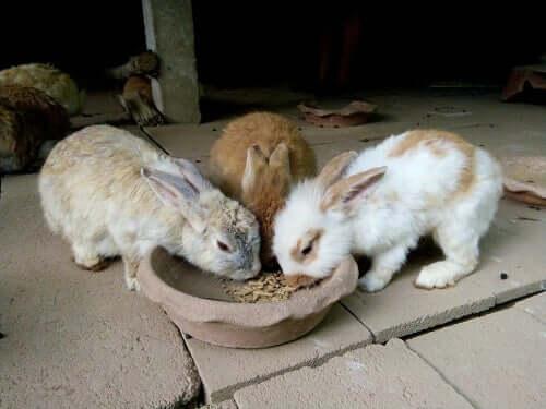 Quand doit manger un lapin et en quelles quantités ?