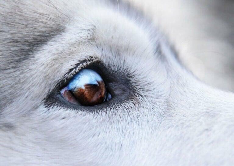 Les traitements contre les verrues autour des yeux chez les chiens