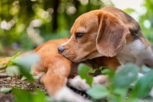 Un chien grattant ses piqûres d'insecte