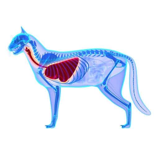 La radiographie d'un chat ayant des problèmes respiratoires