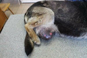 Un chien avec une tumeur vénérienne.
