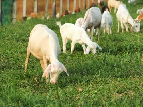 Des chèvres dans un pré