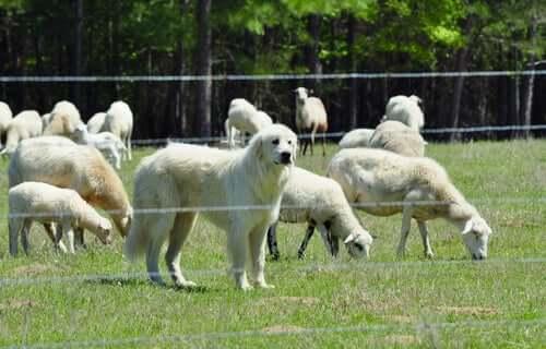 Un chien de montagne des Pyrénées avec un troupeau de moutons