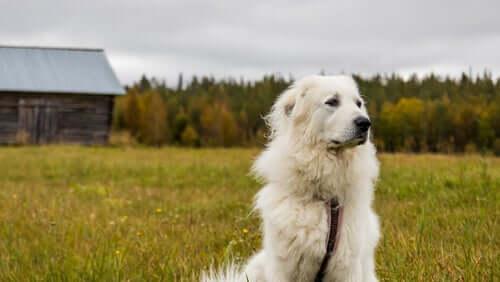 Un chien de montagne des Pyrénées