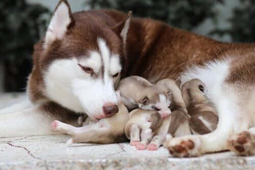 Une chienne husky allaitant ses chiots