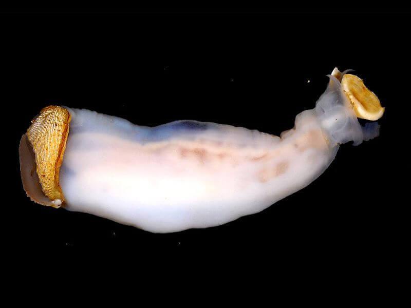 Lithoredo abatanica, le mollusque qui peut changer le cours d'une rivière