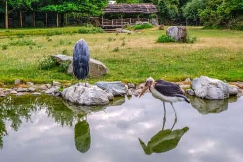 Un marabout d'Afrique près d'un étang