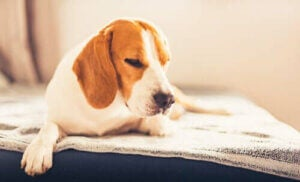 Un chien souffrant d'une intoxication alimentaire