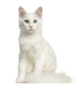 Le chat blanc est souvent un chat sourd