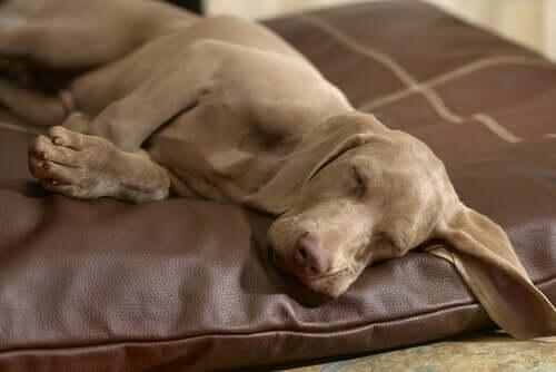 Un chien qui dort le jour car il est éveillé la nuit