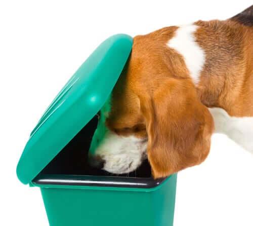 En mangeant n'importe quoi, les chiens peuvent souffrir d'une intoxication alimentaire