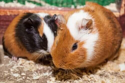 Un couple de cochons d'Inde