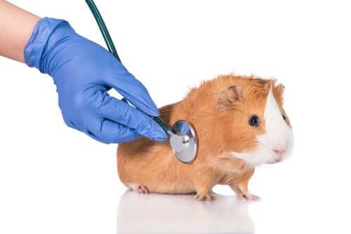 """Les parasites chez les cochons d""""Inde : comment les prévenir ?"""