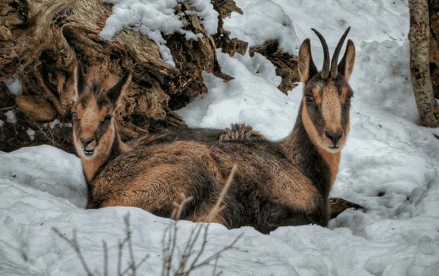 L'isard, le chamois des Pyrénées