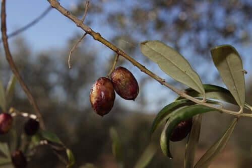 Les feuilles d'olivier comme antibiotiques pour chiens