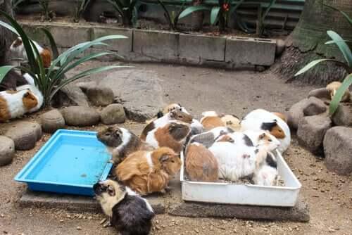 Des cochons d'Inde en train de manger