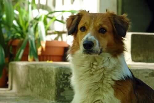 Un chien avec une dépigmentation autour du nez.