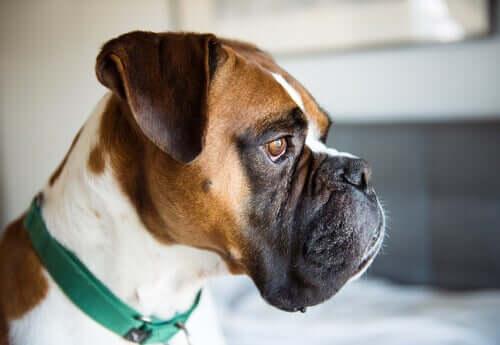 Comment se manifeste la colite chez les chiens ?