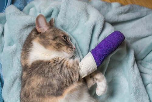 La boiterie chez les chats : causes communes et traitement