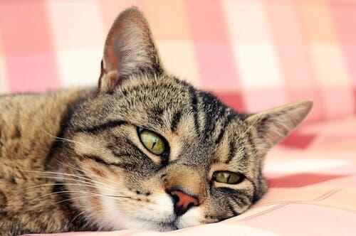 Un chat en été qui a chaud et qui se repose