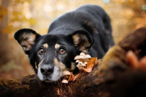 L'empoisonnement d'un chien aux champignons peut être dangeureux