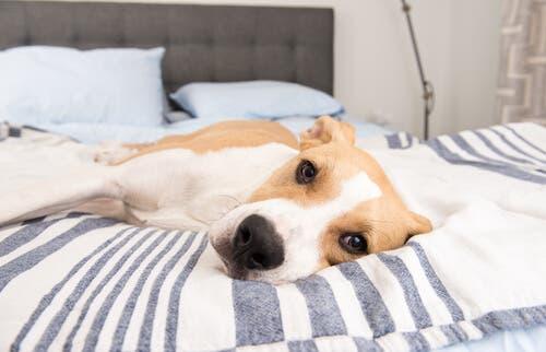 Un chien malade car il a bu trop d'eau de mer